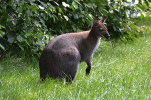 pol ce kaenguru auf abwegen 1 300x200 - Süß oder? - Känguru auf Abwegen